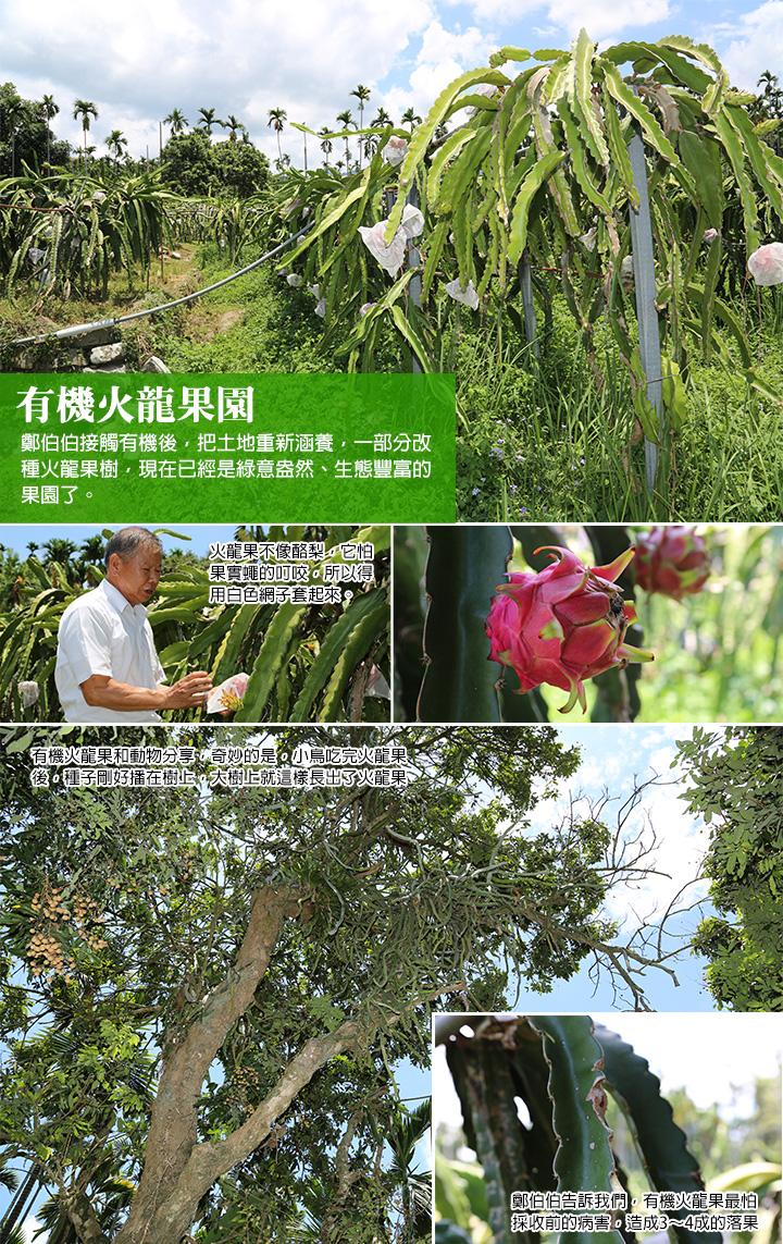 有機火龍果園-鄭伯伯接觸有機後,把土地重新涵養,一部分改種火龍果樹,現在已經是綠意盎然、生態豐富的果園了。火龍果不像酪梨,它怕果實蠅的叮咬,所以得用白色網子套起來。鄭伯伯告訴我們,有機火龍果最怕採收前的病害,造成3~4成的落果。有機火龍果和動物分享,奇妙的是,小鳥吃完火龍果後,種子剛好播在樹上,大樹上就這樣長出了火龍果樹。