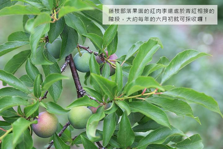 藤枝部落果園的紅肉李還處於青紅相接的階段,大約每年的六月初就可採收囉!