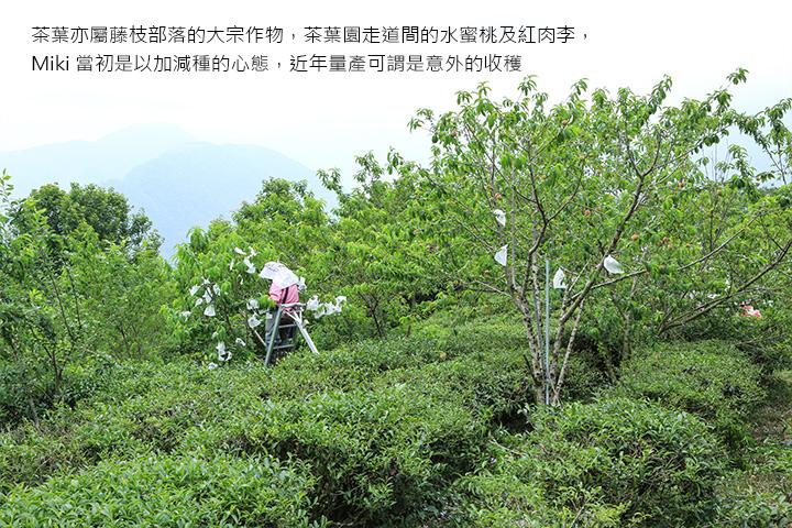 茶葉亦屬藤枝部落的大宗作物,茶葉園走道間的水蜜桃及紅肉李,Miki 當初是以加減種的心態,近年量產可謂是意外的收穫