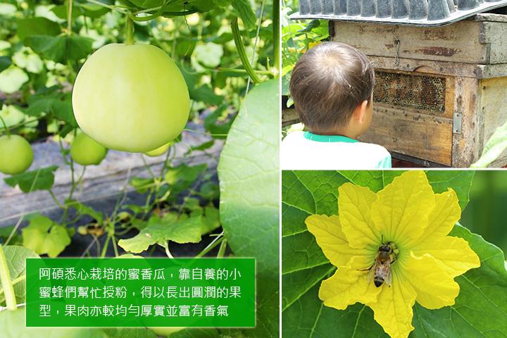 阿碩悉心栽培的蜜香瓜,靠自養的小蜜蜂們幫忙授粉,得以長出圓潤的果型,果肉亦較均勻厚實並富有香氣